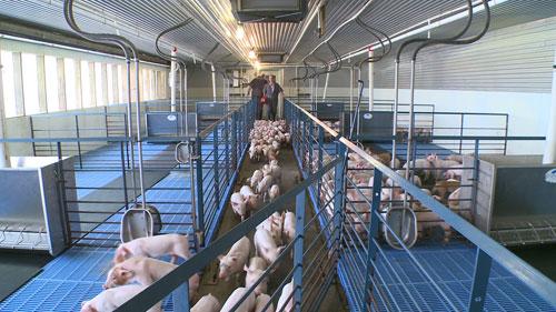 Nursery-Pigs