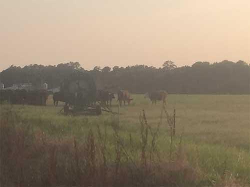 Cattle-in-Field2
