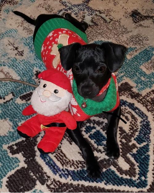 Bladen Pet Contest Chihuahua Klaus