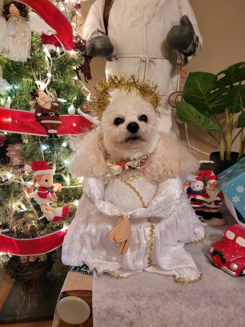 Bladen Pet Contest Christmas angel Jasper